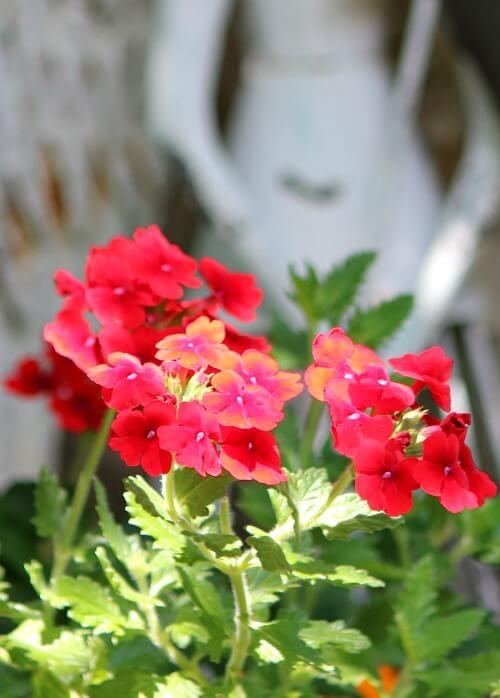 Red flower in front of a garden angel in my garden