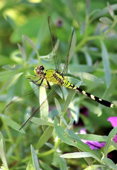 Dragonfly in my gardens