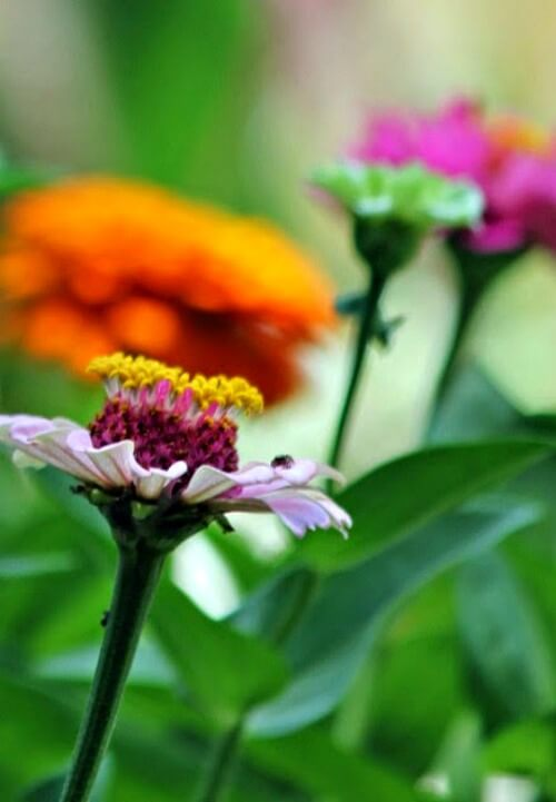 Zinnias in my garden