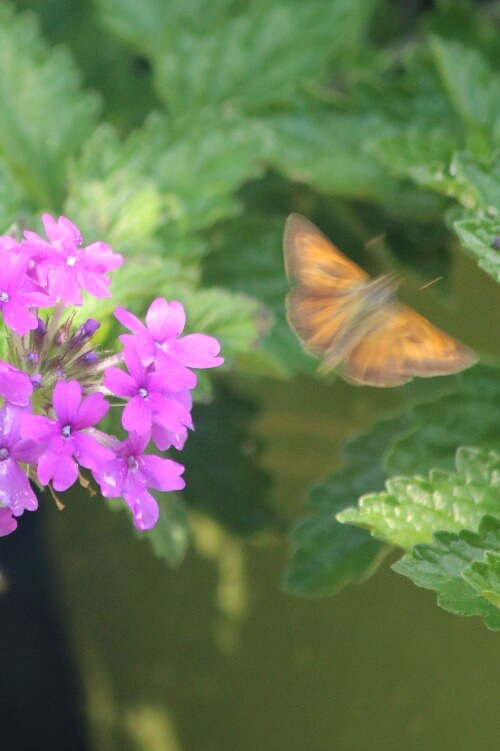 Pentas and butterfly