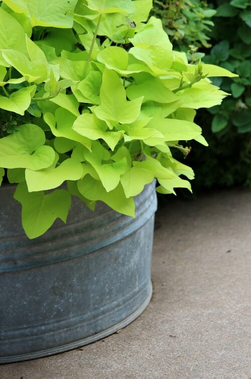 Galvanized container of sweet potato vine