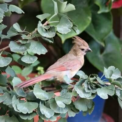 Female cardinal in my jade tree