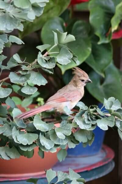 A Cardinal In A Jade Tree