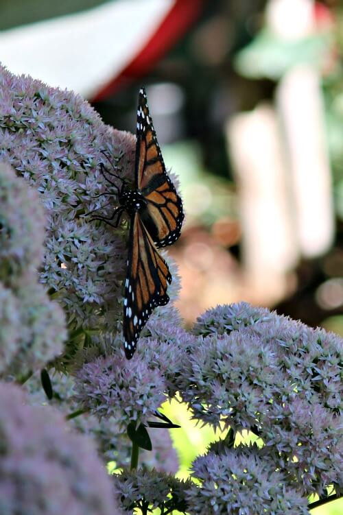 Butterfly on sedum autumn joy