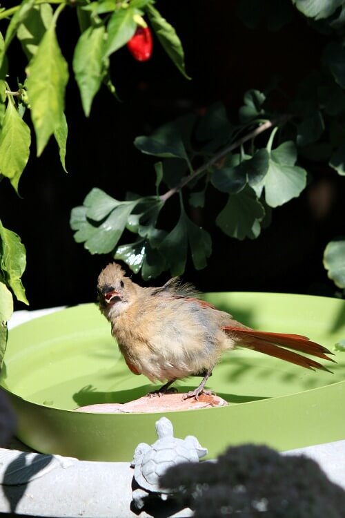 Female cardinal bathing
