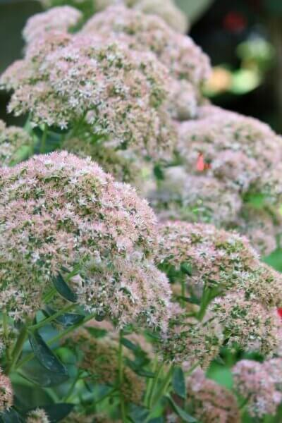 sedum autumn joy in September