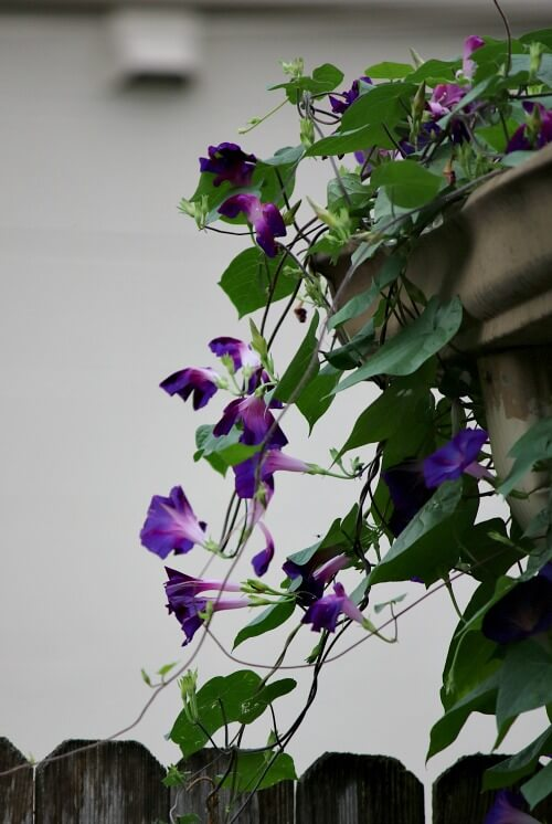 morning glories growing on the fence and roof
