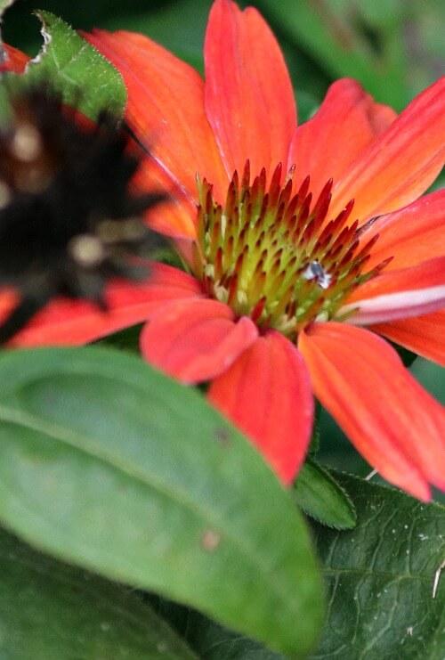 Orange cone flower