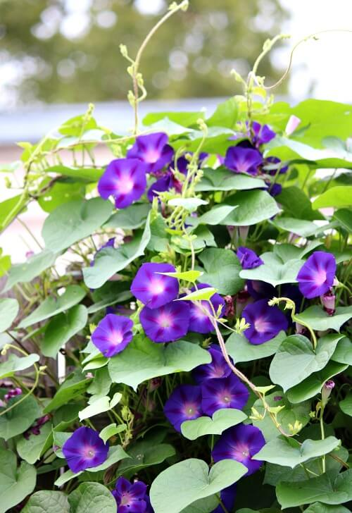 Morning glories growing on the fence