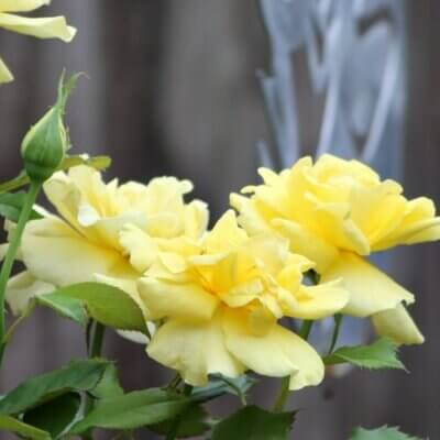 Yellow roses in a container