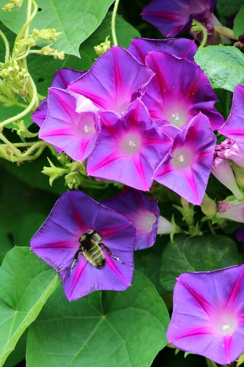 Bee going into morning glory