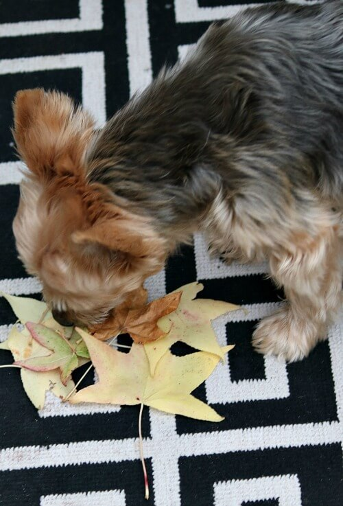 Charlie sniffing fall leaves