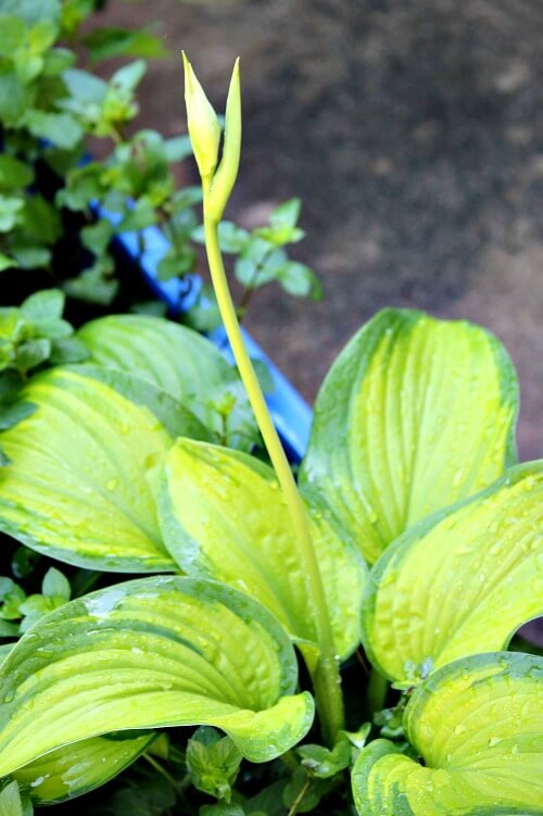 hosta and bloom