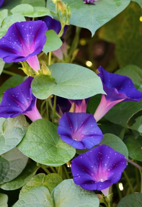 Morning glories on my fence