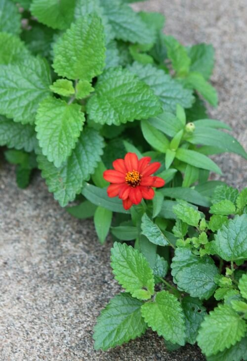 Zinnia growing in a cement crack
