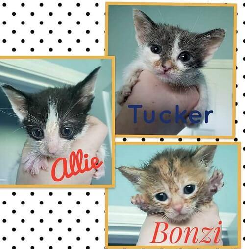 Allie small kitten