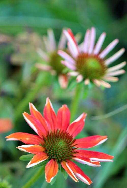 Orange coneflowers
