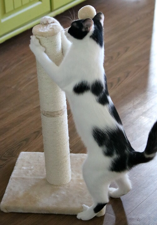 Ivy with her scratching post