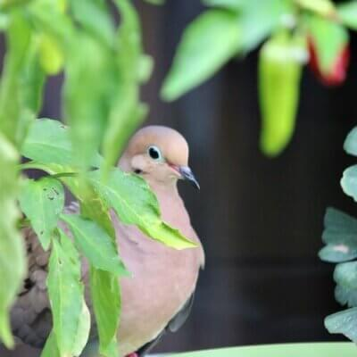 Habits Of The Mourning Dove