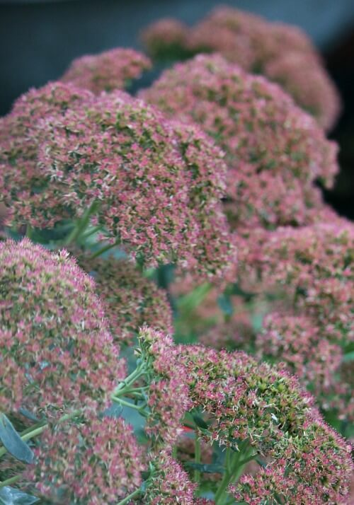 Sedum autumn joy in the fall