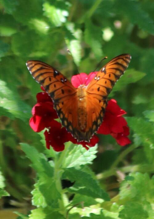 Orange butterfly on penta plant