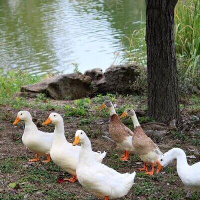 Tulsa's Swan Lake