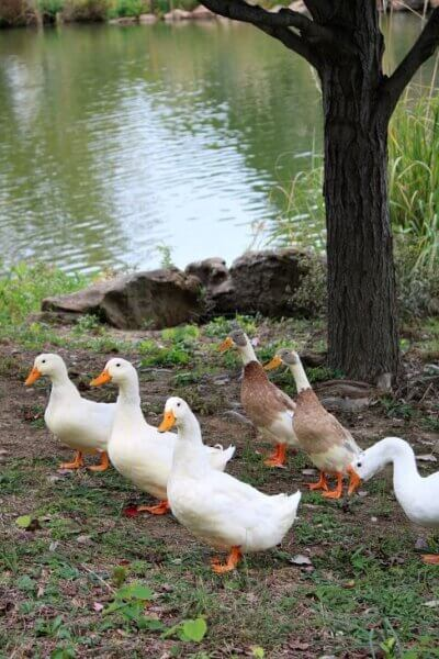 Swan Lake ducks