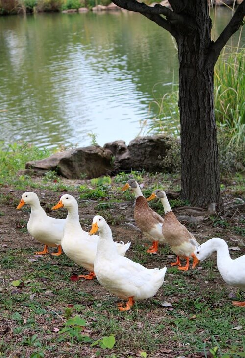Swan Lake ducks