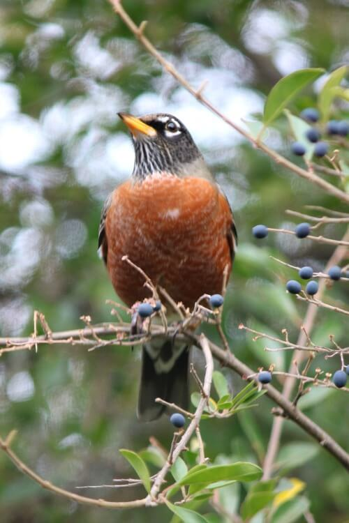 The Gift Of A Christmas Robin