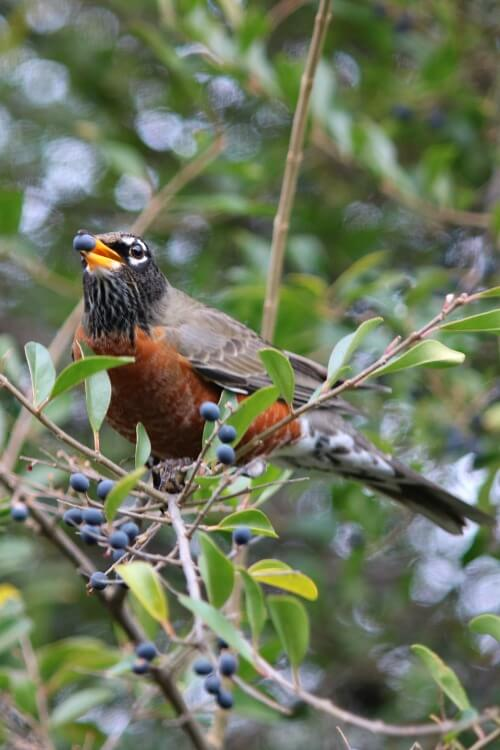 robin eating berries