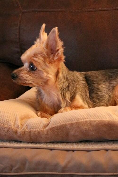 charlie on pet bed