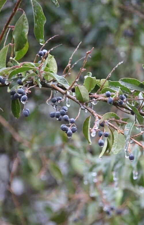 ice on tree berries