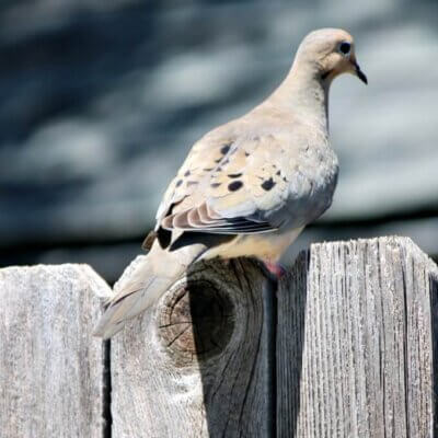 Mourning Doves Are Building A Nest On My Patio