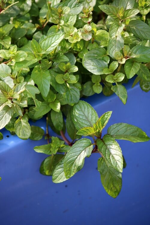 Natural Ways To Repel Mosquitoes With Plants 183 Cozy Little