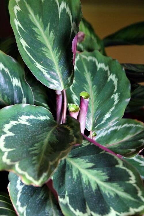 Non Toxic Calathea House Plants