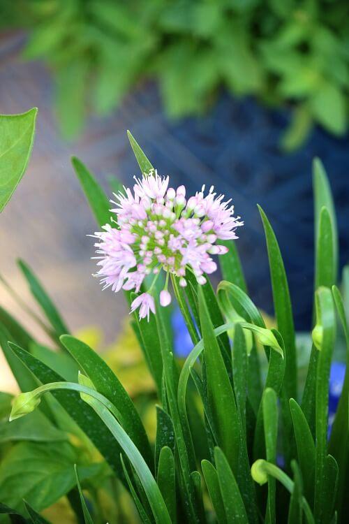 A Bit More Rested & Allium Blooms