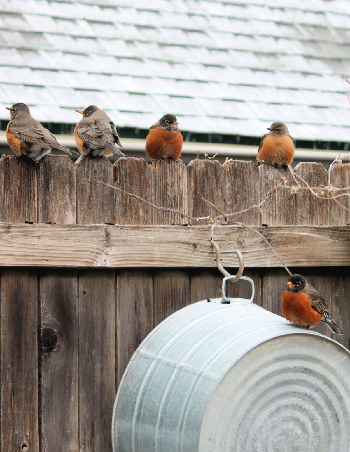 Winter Storm, More Robins & What I'm Reading & Listening To