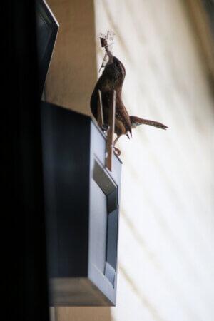 Bewick Wren Nest & Bits Of News