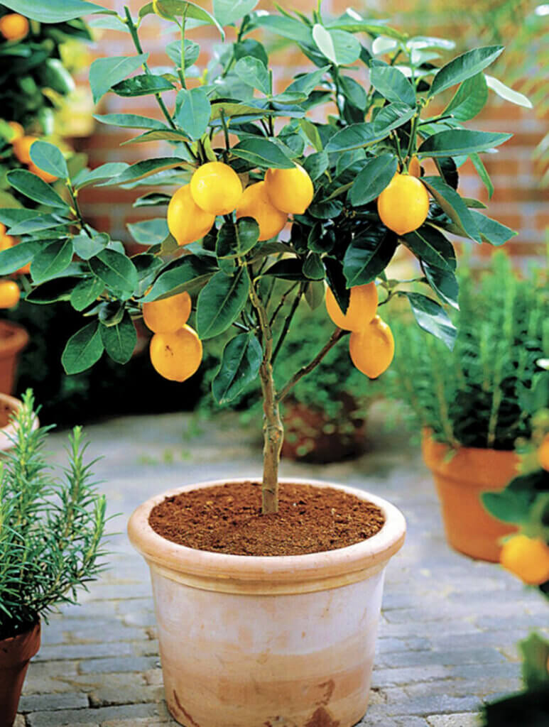 5 Trees You Can Grow In Containers
