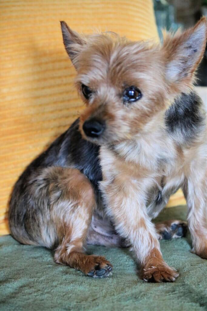Charlie, my senior Yorkie dog