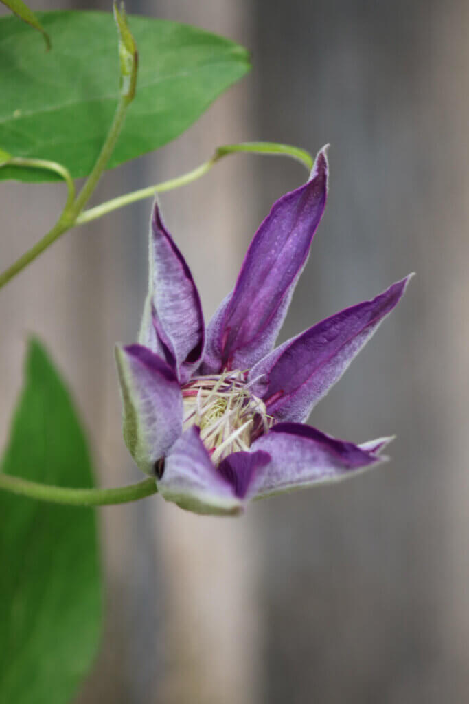 Purple Clematis, What I'm Watching & What I'm Reading