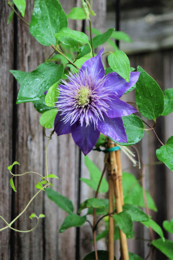 How To Grow & Care For Clematis
