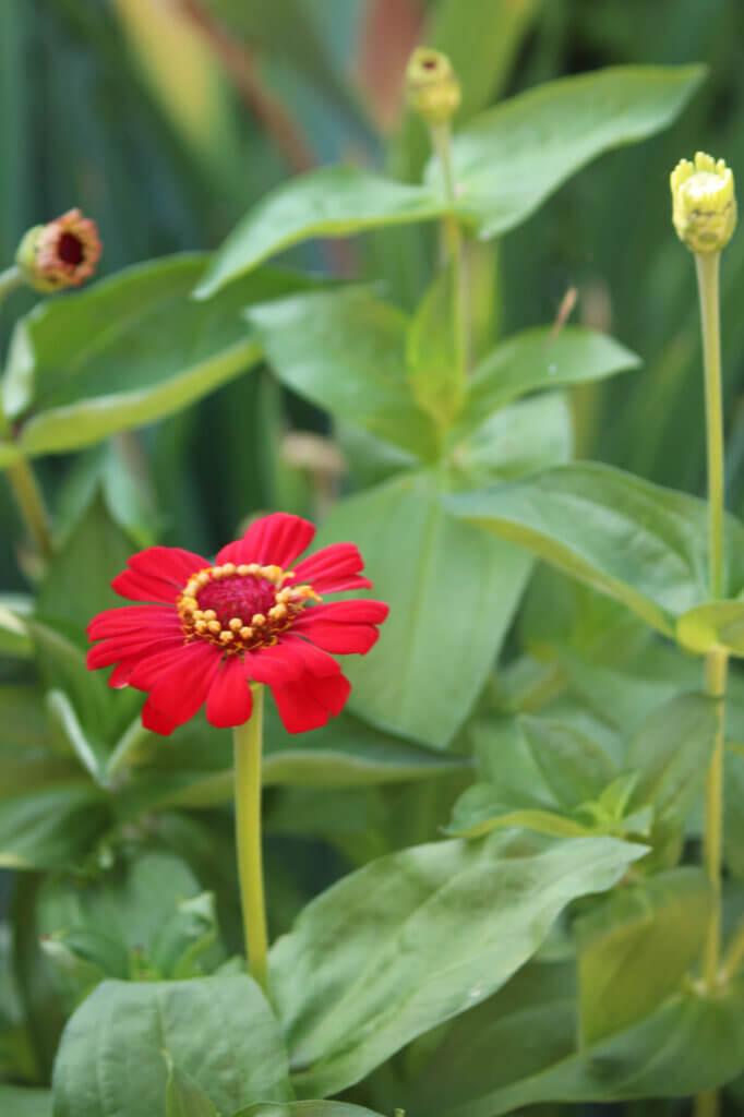 My Blooming Zinnias: The Planting & Care Of Zinnias