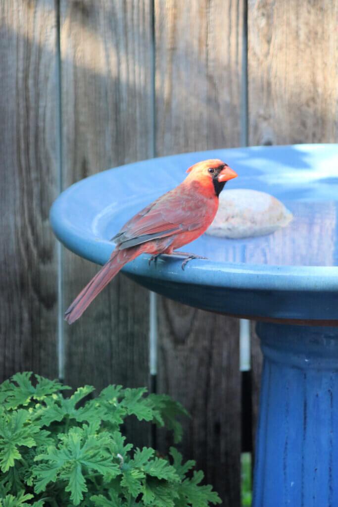 Male cardinal getting a sip of water at my blue birdbath