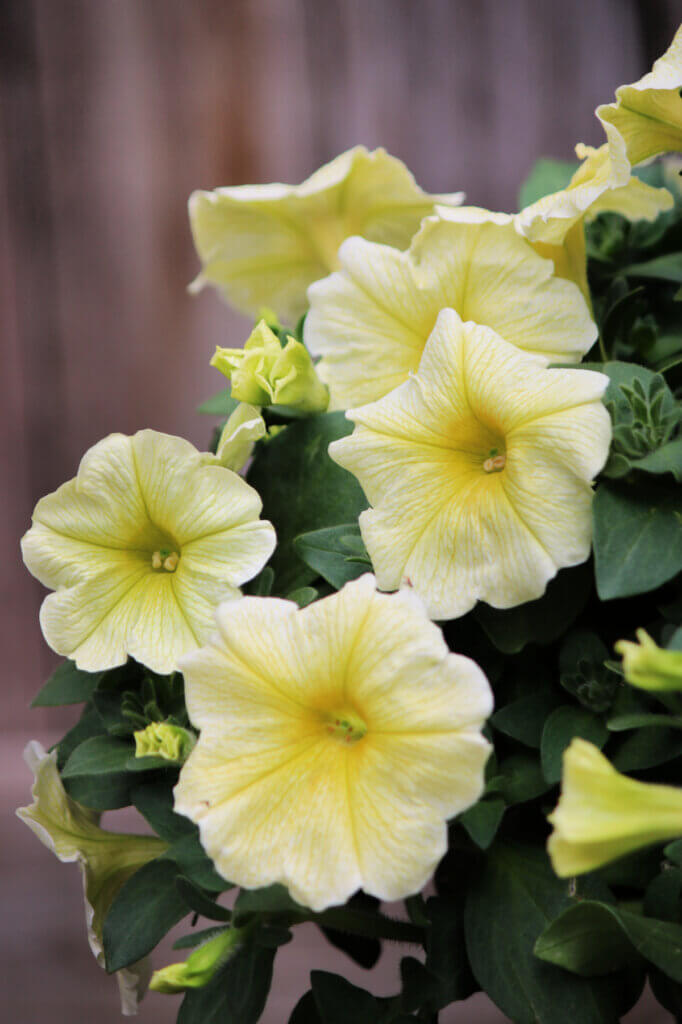 Yellow petunias blooming in a pot