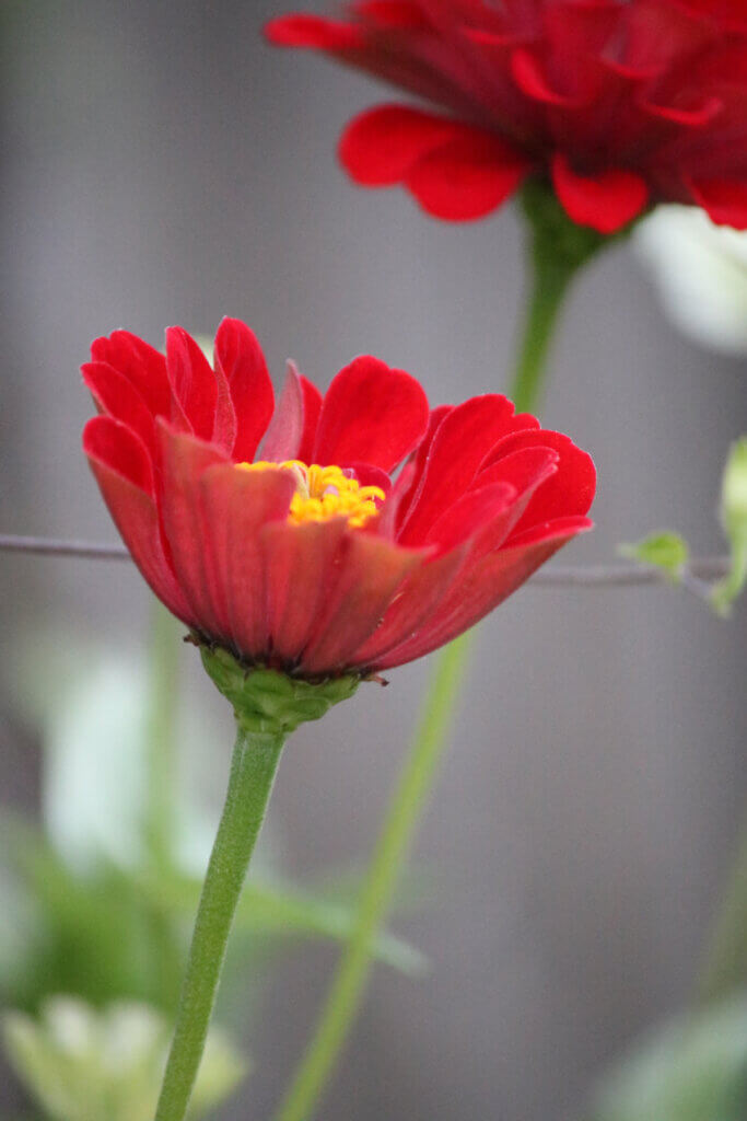 Red zinnias with morning glory vines wrapping around the stems