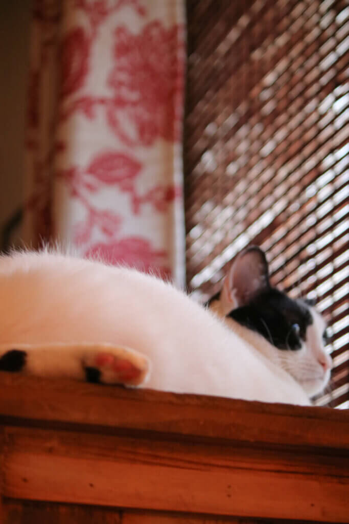 My black and white cat Ivy up on the cupboard in the living room staring out the window.