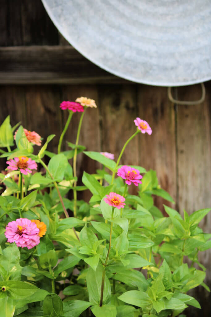 Different colored zinnias on my patio