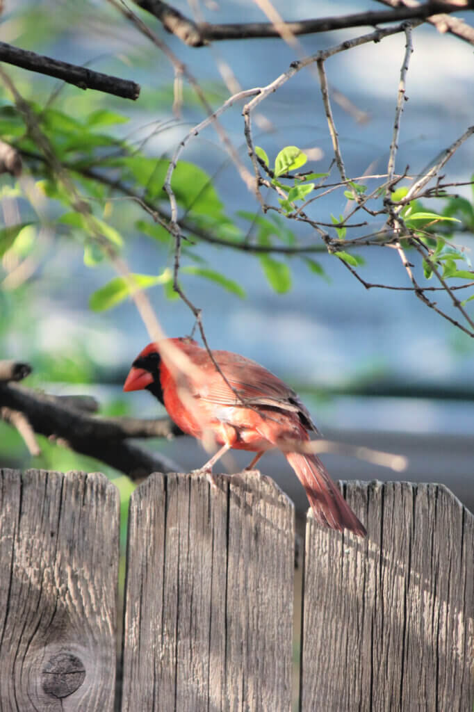 The male cardinal perches on the fence looking for food in fun facts about cardinals.