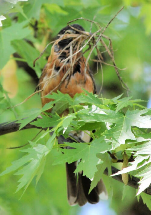 A robin with a beak full of weeds to build a nest